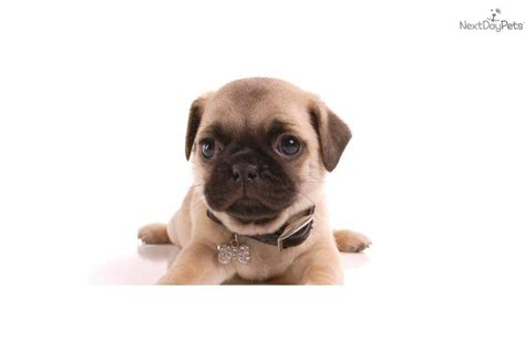 do pocket puggles shed pug and beagle puppies for sale dogs puppies for sale with