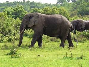File:Elefant Ghana.jpg - Wikipedia