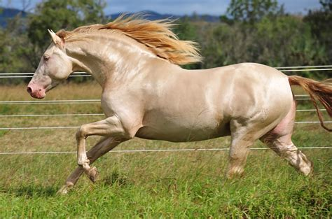 andalusian horse most spanish pre scientia potentia est pura probably raza pure