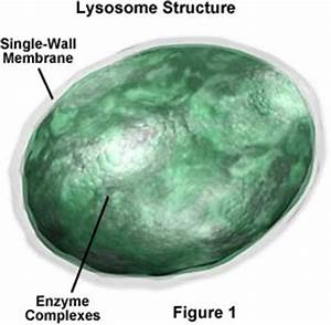 Lysosome Information