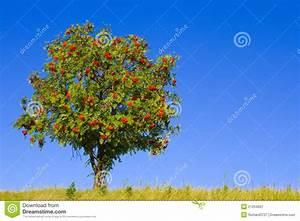 Baum Mit Roten Beeren : baum mit roten beeren lizenzfreie stockfotografie bild 21204667 ~ Markanthonyermac.com Haus und Dekorationen