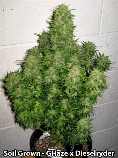 How To Grow Autoflowering Cannabis Strains  Grow Weed Easy