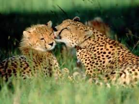 cheetah cats beautiful animals safaris endangered beautiful