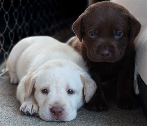 CUTE ALERT! 16 Of The Cutest Labrador Puppy Pictures Ever ...