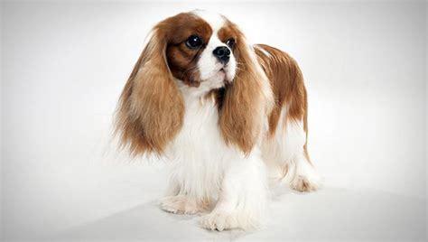 Cavalier King Charles Spaniel Small Dog Breeds Dbcentral