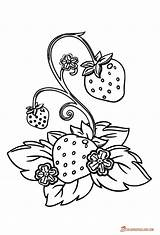 Strawberry Plant Coloring Line Template Pages Plants Printable Another Downloadable Berries Fruits sketch template