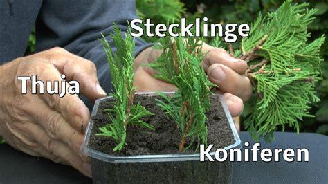 vermehrung kirschlorbeer thuja stecklinge koniferen ganz einfach vermehren zeigt der g 228 rtner pflanzen vermehrung