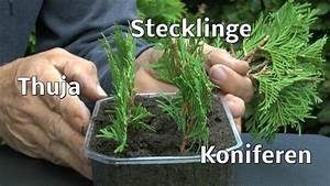 Kirschlorbeer Selber Ziehen : thuja stecklinge von koniferen ganz einfach vermehren zeigt der g rtner pflanzen vermehrung ~ Orissabook.com Haus und Dekorationen