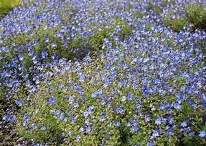 Blühende Stauden Winterhart : 39 westzeit 39 beetrose und blau bl hende rosenbegleitpflanzen ~ Buech-reservation.com Haus und Dekorationen