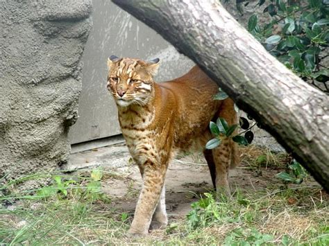 Asian Golden Cats Are Cool Looking Wild