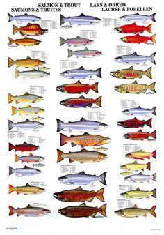 types  salmon    important salmon  trout