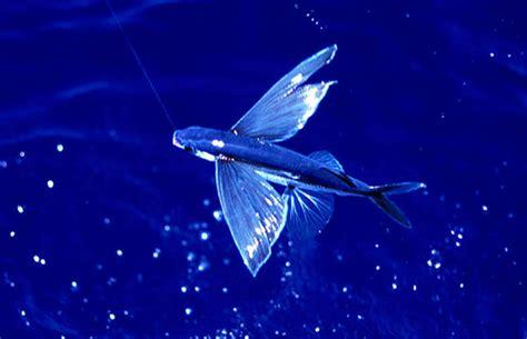 Pesci Volanti Mediterraneo Pesce Volante 28 Images Dalla Croazia Pesce Volante