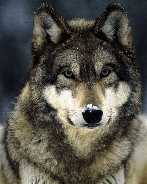 Black Wolf Photography