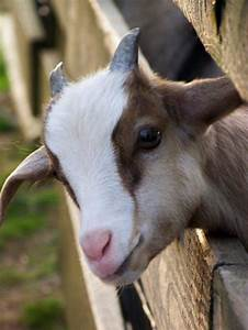 101 Cute and Fluffy Animals for Today   Baby goats, Fluffy ...