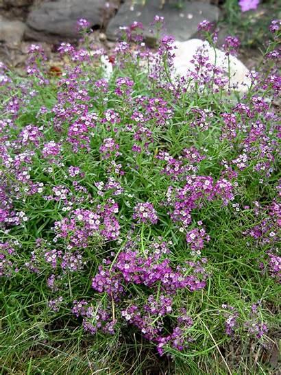 Alyssum Purple Plants Sweet Flowers Garden Ornamental