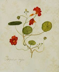 the botanical magazine plate 23 volume 1 1787 tropaeolum majus wikimedia commons