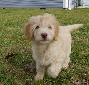 goldendoodle mini full grown - Google Search   Puppies ...