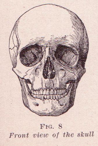 front view  skull   skull illustration skull
