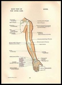 Anatomy Arm Bones Illustration Anatomical Diagrams By