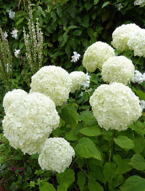 Red And Black Pictures Hydrangea Arborescens 39 Annabelle 39 Buy Online At Annie 39 S Annuals