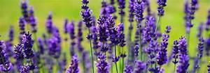 Plant De Lavande : lavande en pot et au jardin planter cultiver tailler ~ Nature-et-papiers.com Idées de Décoration