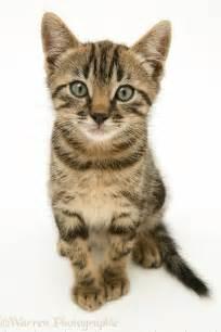 brown tabby cat brown tabby kitten photo wp18612