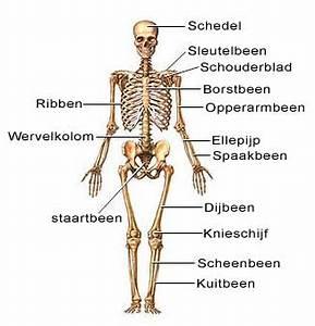 Menselijke spieren