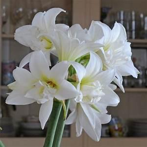 Zimmerpflanze Weiße Blüten : amaryllis 39 jewel 39 dieser wei e ritterstern tr gt besonders sch n gef llte bl ten ihre zwiebel ~ Markanthonyermac.com Haus und Dekorationen