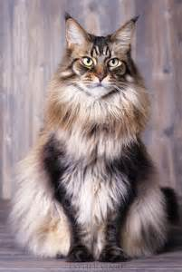 what is the largest breed of domestic cat the world s catalog of ideas