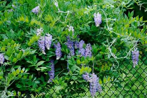 plants that grow up fences plants that grow on fences covering chain link fences with vines