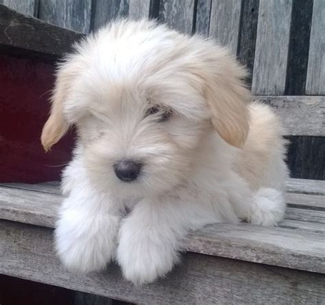 Do Tibetan Terriers Shed by Best 25 Tibetan Terrier Ideas Only On Tibetan