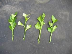 Tailler Un Citronnier : quelque bouture blog de jardin expo ~ Melissatoandfro.com Idées de Décoration