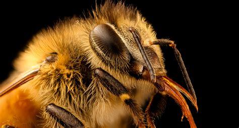 mystery  vanishing honeybees