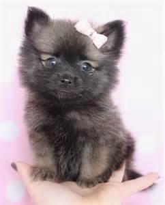 Teacup Pomeranian Husky Pomsky