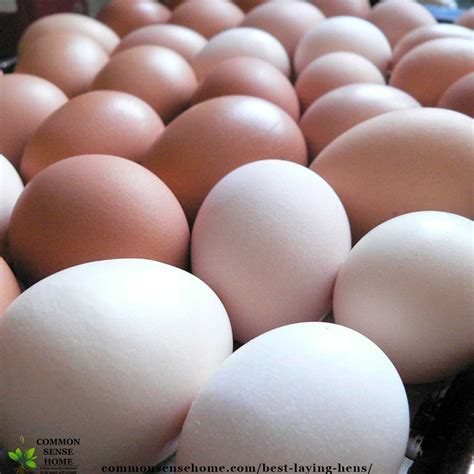 eggs laying chicken hens egg chickens brown meat beginners