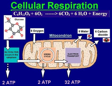 cellular respiration and photosynthesis quot the cell leader quot
