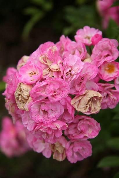 Pink Rose Heavenly Commons Rosa Wikimedia Wikipedia