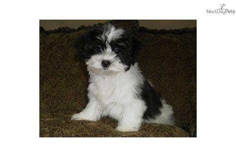 meet oreo  cute mal shi malshi puppy  sale