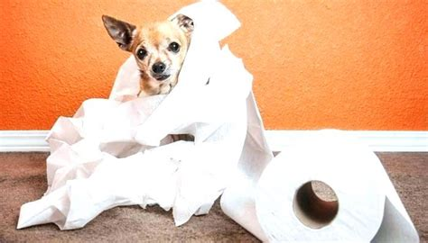 How To Clean Dog Urine Smell From Carpet How To Get Dog Urine Smell Out Of Carpet With Steam Ayoub Carpet Service Reviews Georgia Mills Marion Ohio Get Pet Stain Out Of Mill Direct Savannah Ga Cri 105 Installation Standard La Rancho Cucamonga Remove From Boat Red Outfits Tumblr