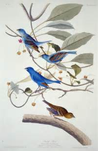 John Audubon Bird Illustration