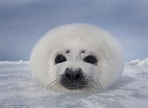 273 best images about Harp Seals on Pinterest
