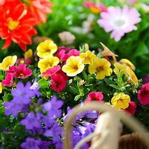 Balkonblumen Richtig Pflanzen : zaubergl ckchen million bells standort pflege gie en d ngen vermehren pflanzen ~ Frokenaadalensverden.com Haus und Dekorationen