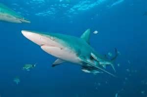Oceanic Black Tip Shark