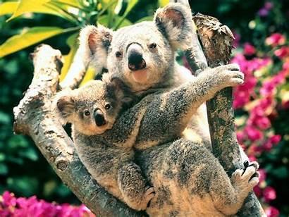 Koala Koalas Wallpapers Animals Animal Desktop Bear