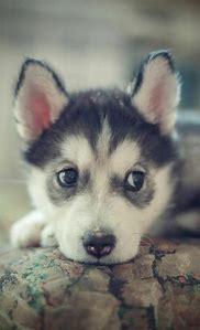 Adorable Cute Husky Puppies