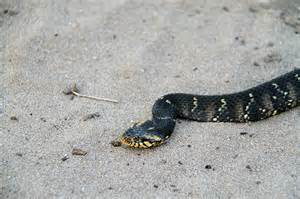 Central Florida Water Snakes