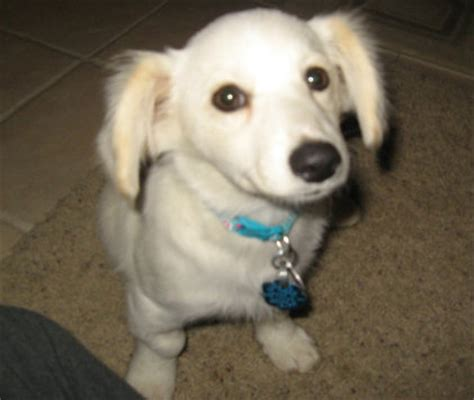 dameranian pomeranian  dachshund mix dog info puppies