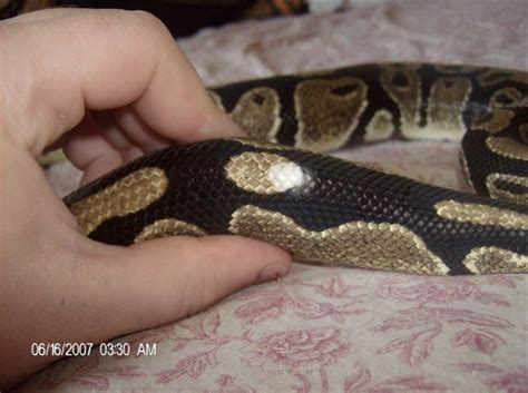 iherp answers white spots on ball python after shedding