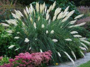 Landscaping Ornamental Pampas Grass