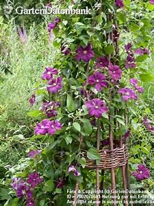 Rankhilfe Clematis Selber Bauen : clematis rankhilfe clematis im garten pflanzen tipps f r ~ Lizthompson.info Haus und Dekorationen